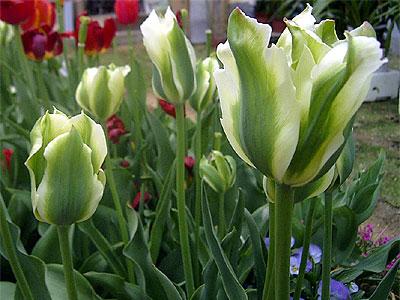 d050506-tulip2