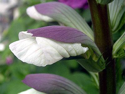 d050625-acanthus