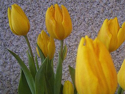 d060228-tulip