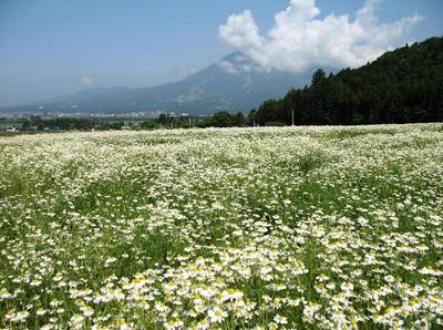 磐梯山とカモミール畑