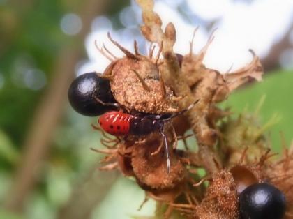 ヒメホシカメムシ幼虫?