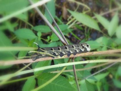 ベニスズメ幼虫