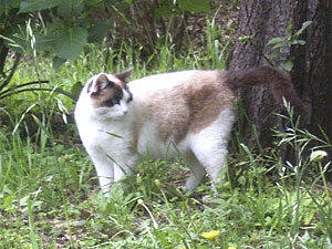 小石川植物園で見かけたミケ猫