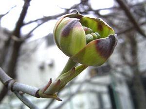ハナミズキのつぼみ '04/03/23 東京都港区