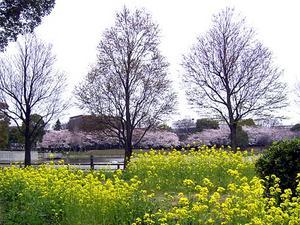 菜の花の花壇と対岸の桜 '04/03/30 東京都北区