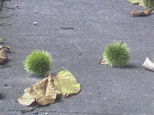 道に落ちた青い毬栗