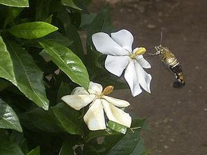 クチナシの花と近くを飛ぶ虫 '04/06/02 東京都港区