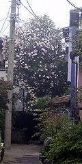 キョウチクトウが咲いていた路地