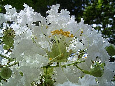 白花のサルスベリ '04/07/267 東京都北区