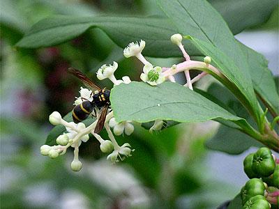 ヨウシュヤマゴボウ(花)