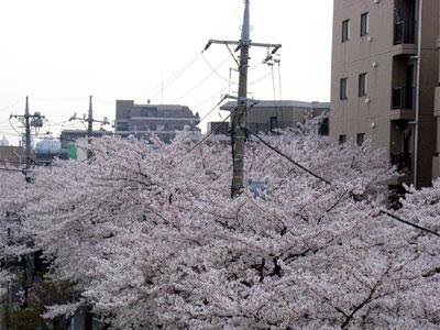 D060402sakura1