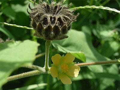 イチビ(花と実)