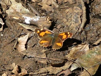 翅を広げたテングチョウ