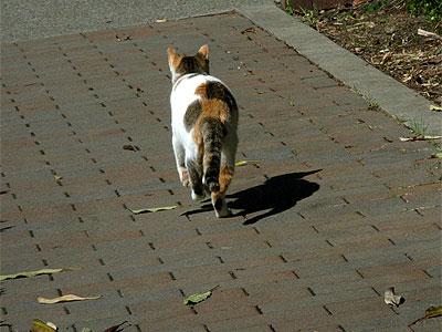 徘徊中の三毛猫