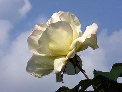 朝倉彫塑館屋上で見たバラ
