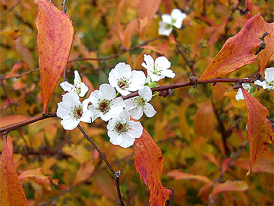 ユキヤナギの紅葉と花