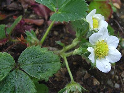 オランダイチゴ(花)