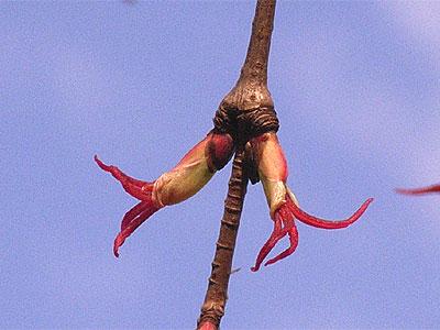 カツラ(雌花)
