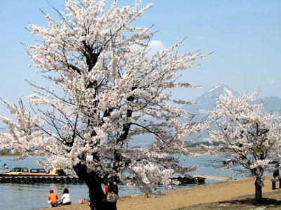 志田浜の桜