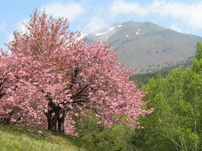 磐梯山と八重桜
