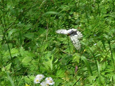 滑空するウスバシロチョウ