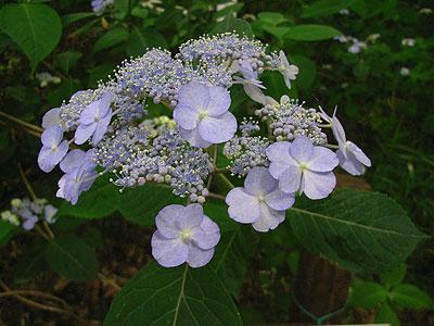 八重咲きアマチャ