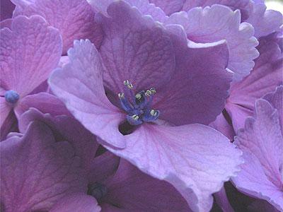 アジサイ(装飾花)