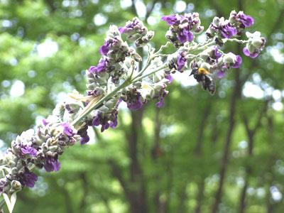 ミズカンナの花