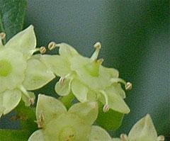 ナツメの花拡大