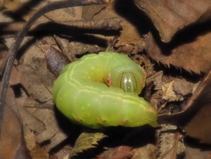 ナカキシャチホコ幼虫