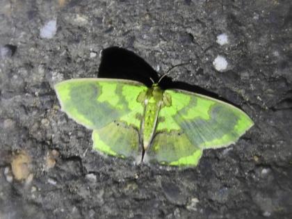 短尾豔青尺蛾