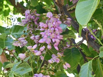 クロヨナの花