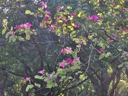 花色の濃いヨウテイボク