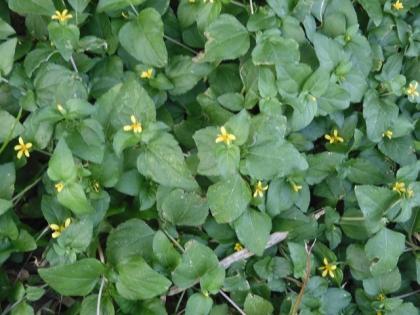 Wollastonia montana