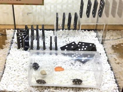 ドミノゴキブリ