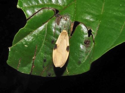 和名不明 Macotasa sp.
