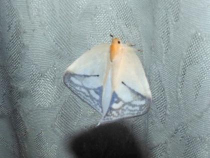 Flatidae sp.