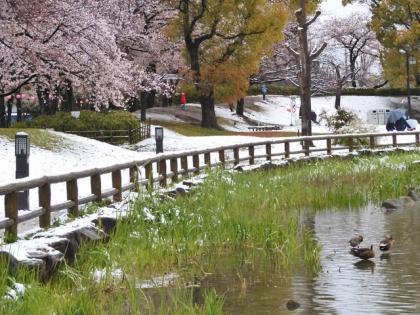 桜に雪にカモ