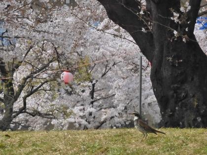 桜にツグミ