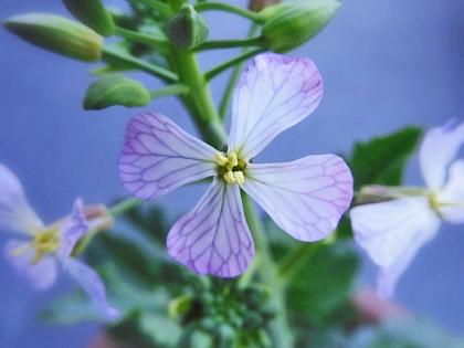 ウチのダイコンの花