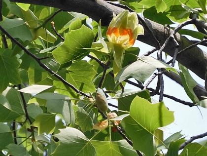 ユリノキの花と蕾