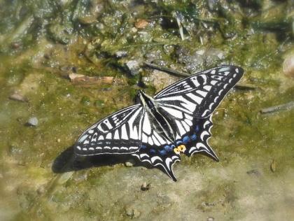 アゲハチョウ(アゲハ、ナミアゲハ)春型♀