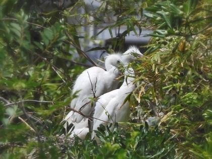 コサギ幼鳥