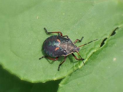 シロヘリクチブトカメムシ幼虫