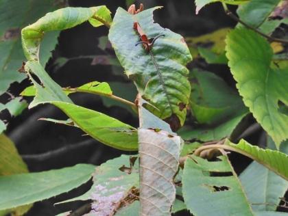 アオバセセリとスミナガシの幼虫