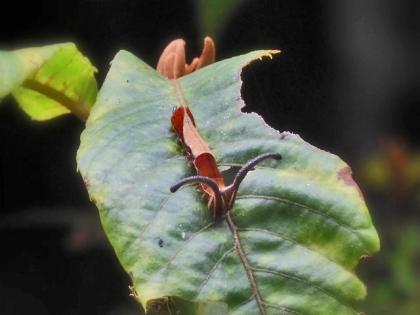 スミナガシ幼虫