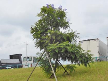 ジャカランダの花