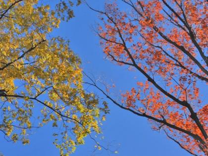 ケヤキの紅葉・黄葉