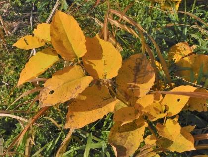 イタドリの黄葉