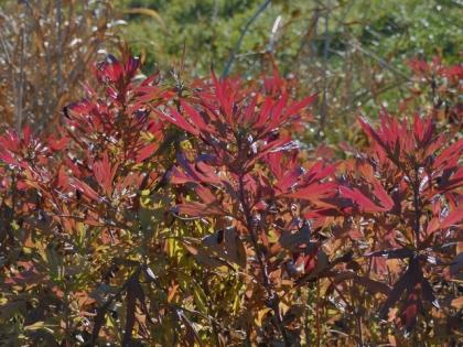 ヨモギの紅葉